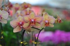 Orquídea de mariposa Fotografía de archivo libre de regalías