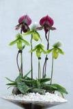Orquídea de mariposa Foto de archivo libre de regalías