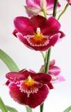 Orquídea de Miltoniopsis fotografia de stock royalty free