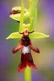 Orquídea de mosca, insectifera del Ophrys, orquídea salvaje terrestre europea floreciente, hábitat de la naturaleza, detalle del  Fotos de archivo libres de regalías