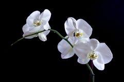 Orquídea de nieve Imagen de archivo libre de regalías