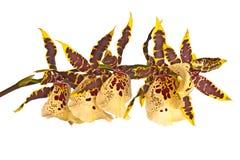 Orquídea de Odontoglossum aislada Foto de archivo