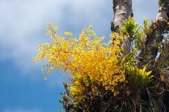 Orquídea de Oncidium imagens de stock