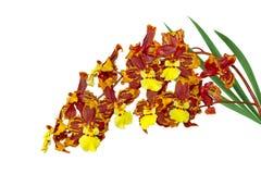 Orquídea de Oncidium Macmex Imagen de archivo libre de regalías