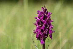 Orquídea de pantano occidental Fotografía de archivo