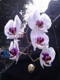Orquídea de Phal Fotos de archivo libres de regalías
