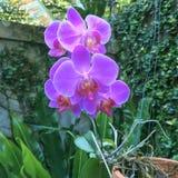 Orquídea de Phalaneopsis Imagen de archivo