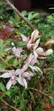 Orquídea de Phuluang imagenes de archivo