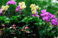 Orquídea de polilla Fotografía de archivo