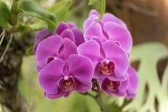 Orquídea de polilla rosada imagenes de archivo