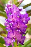 Orquídea de Puple Vanda imagen de archivo libre de regalías