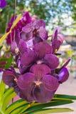 Orquídea de Puple Vanda imágenes de archivo libres de regalías