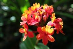 Orquídea de Ren Foto de archivo