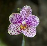 Orquídea de 'Rosa María' de los puntos de Alysha del Phalaenopsis Fotografía de archivo