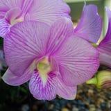 Orquídea de s de Tailândia ' Imagem de Stock Royalty Free