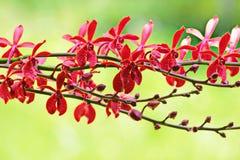 Orquídea de Tailandia Fotos de archivo libres de regalías