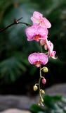 Orquídea de traça Imagens de Stock