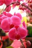Orquídea de traça bonita Imagens de Stock Royalty Free