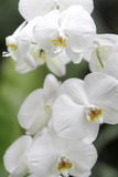 Orquídea de vainilla hermosa Foto de archivo
