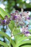 Orquídea de Vanda Foto de Stock