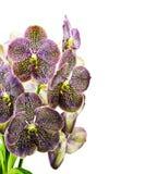 Orquídea de Vanda Fotos de archivo libres de regalías