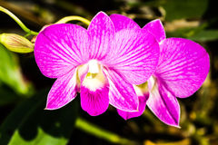 Orquídea de Vanda en el chiangmai Tailandia Fotografía de archivo