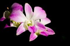 Orquídea de Vanda en el chiangmai Tailandia Imágenes de archivo libres de regalías