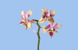 Orquídea decorativa aislada en fondo azul Fotografía de archivo libre de regalías