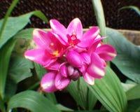 Orquídea Deeppink Fotos de Stock