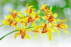 Orquídea del Cymbidium Fotografía de archivo libre de regalías