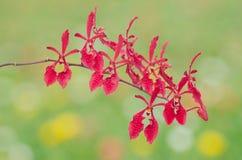 Orquídea del Cymbidium Foto de archivo libre de regalías