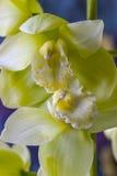 Orquídea del Cymbidium o del barco Imágenes de archivo libres de regalías