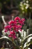 Orquídea del Cymbidium o del barco Foto de archivo