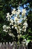 Orquídea del ` de Hyemale del Aplectrum del ` de Adán y de Eva Imagen de archivo