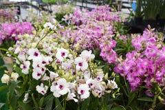 Orquídea del Dendrobium Imagen de archivo libre de regalías