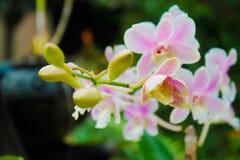 Orquídea del Dendrobium Imagen de archivo