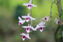 Orquídea del Dendrobium Fotos de archivo