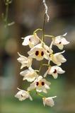Orquídea del Dendrobium Fotografía de archivo