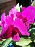 Orquídea del Dendrobium Fotos de archivo libres de regalías