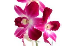 Orquídea del Dendrobium Imagenes de archivo