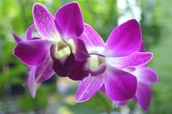 Orquídea del Dendrobium, SP del Dendrobium foto de archivo