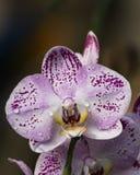 Orquídea del descenso de rocío Fotografía de archivo