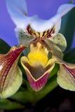 Orquídea del deslizador de señora Imagenes de archivo