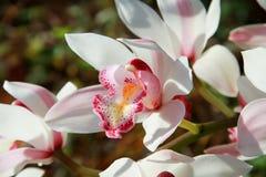 Orquídea del deslizador de señora Fotografía de archivo