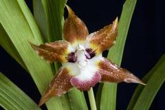 Orquídea del gato imagenes de archivo