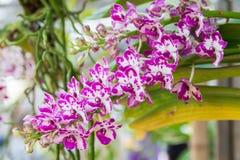 Orquídea del gigantea de Rhynchostylis foto de archivo libre de regalías