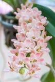 Orquídea del gigantea de Rhynchostylis fotos de archivo
