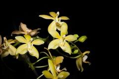 Orquídea del híbrido de Doritis y del Phalaenopsis Imagen de archivo libre de regalías