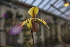 Orquídea del haynaldianum del Paphiopedilum Imagenes de archivo