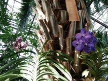 Orquídea del huerto de Aptekarsky Imagen de archivo